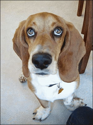 Best Dog Food - Basset Hound