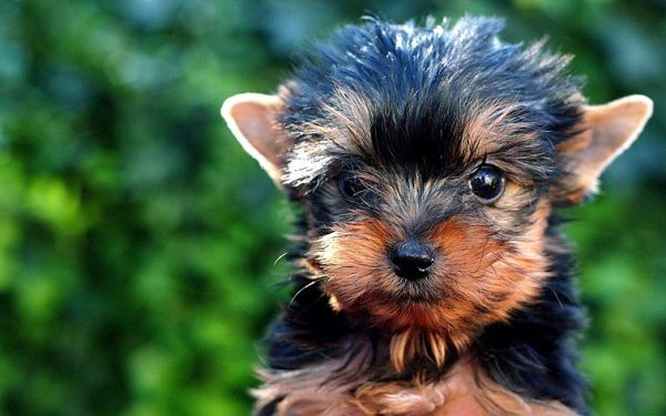 Training Yorkie Puppies
