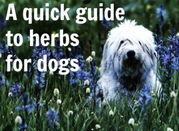 Herbs for dogs are not all safe