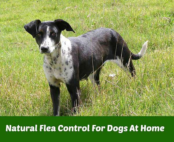 natural flea control for dogs home garden